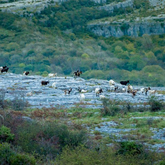 Burren Goats | ClareCoCo