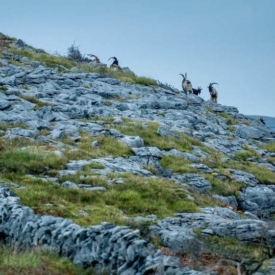 Burren Goats on Mountainside | ClareCoCo