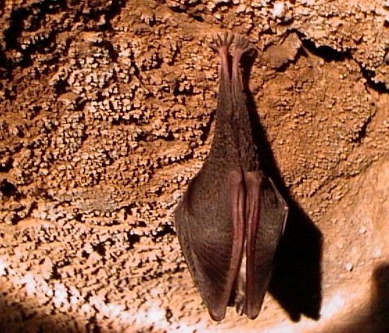 Lesser Horseshoe Bat | ClareCoCo