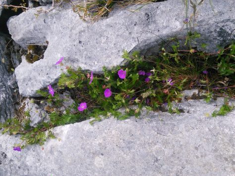 Burren Flowers - Myths, Legends and Folklore